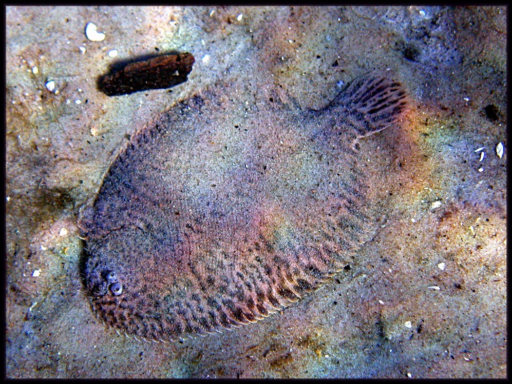 flounder in sand