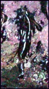 A flying multiheaded medusa fishtailed fairy.